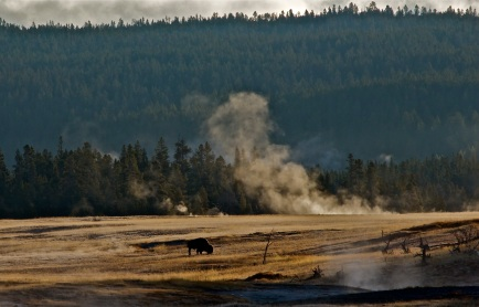 The buffalo graze amongst hydrothermal steam vents in Yellowstone National Park, WY.