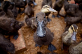 A black runner duckling looks curiously at the camera.