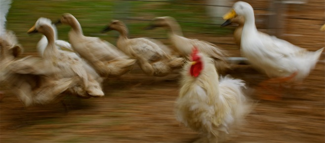 The ducks race to the pond while Poodle-Roo, a frizzle rooster, steps aside.