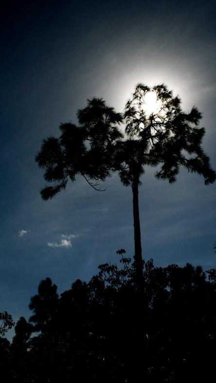 Staring at the sun through a slash pine on Big Pine Key, FL.