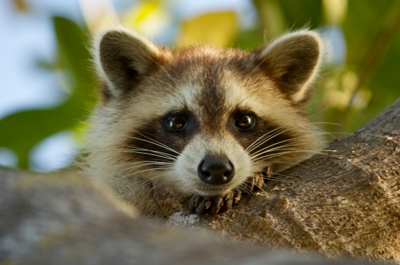 A curious racoon in the Florida Keys.