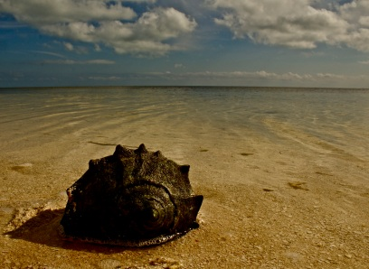 """A living conch (pronounced """"conk"""") in the warm waters of the Florida Keys."""