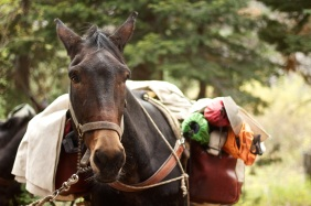 A pack mule ready to get on the trail.