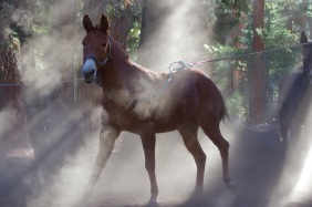 A mule kicks up a dust cloud in Sequoia National Park