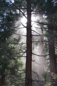 A backlit pine tree in Sequoia National Park