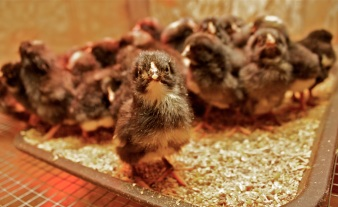 A baby chick keeping warm in the brooder.