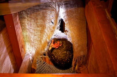 A Plymouth barred rock chicken in her nest box.