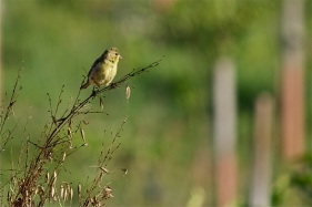 A songbird decides what to eat next in the orchard.