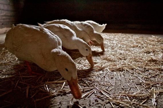 Pekin ducks scavenge food from a stall in the barn.