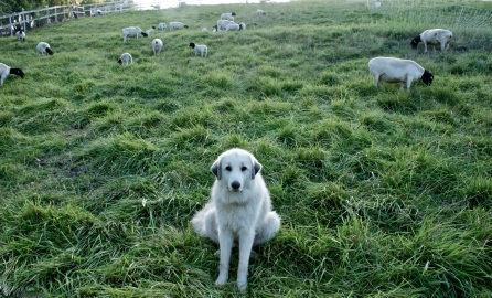 Sweet Sage, a great Pyrenees, guards the livestock.